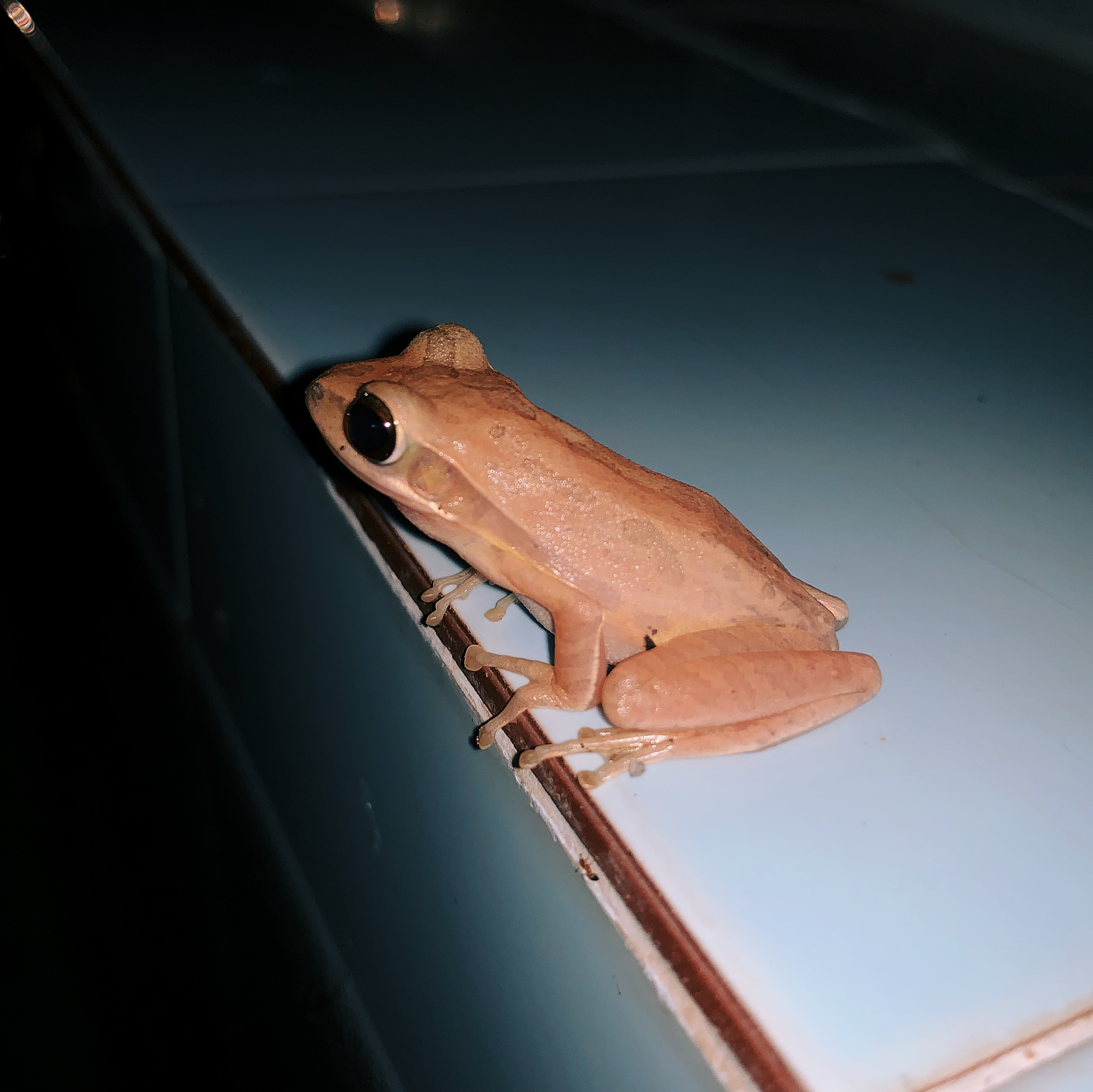 Frog by the Pool