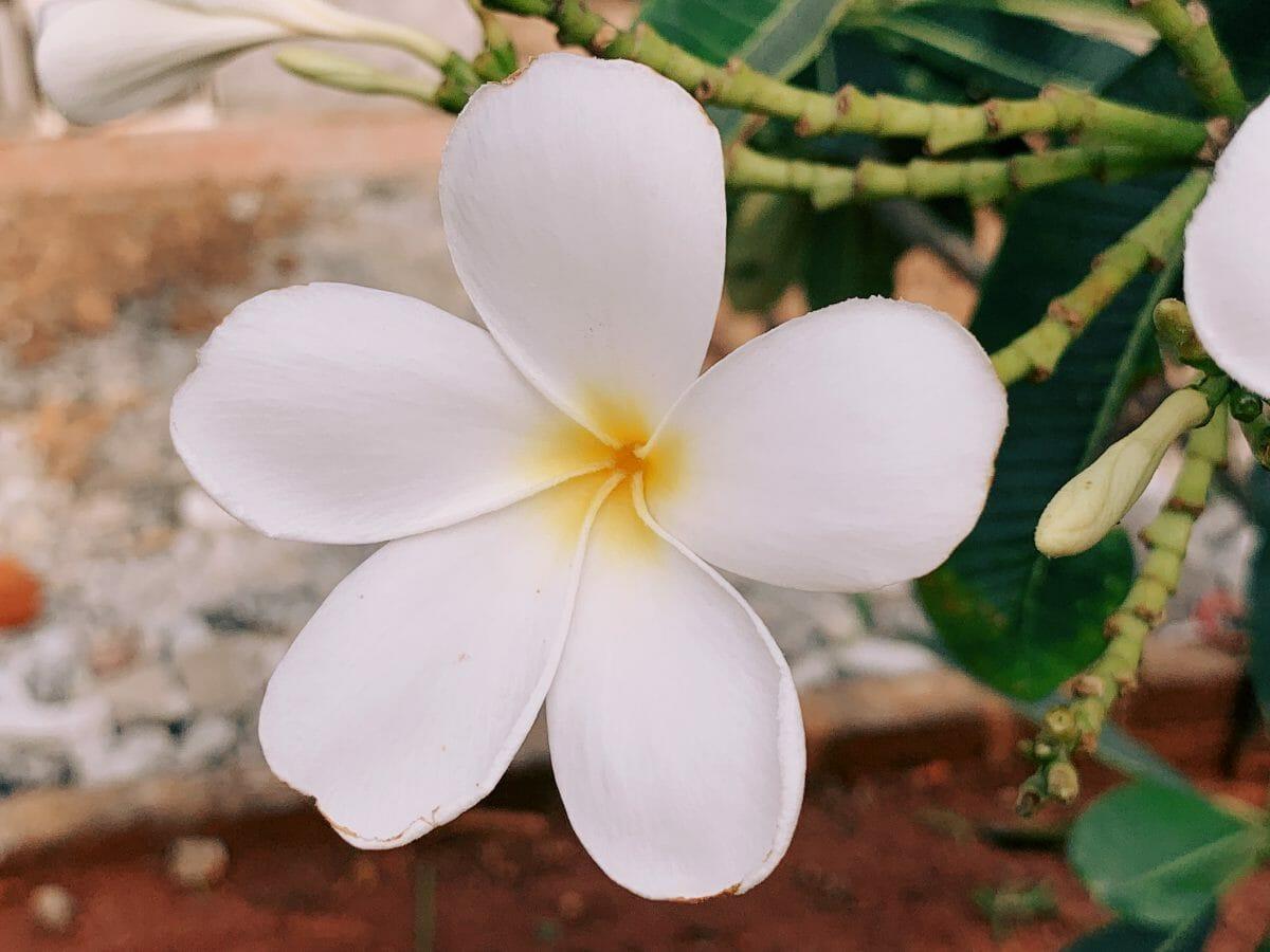 Chafa Flower in Alibag